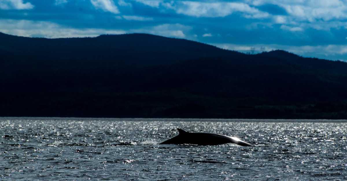 sun glint fin whale quebec saint lawrence
