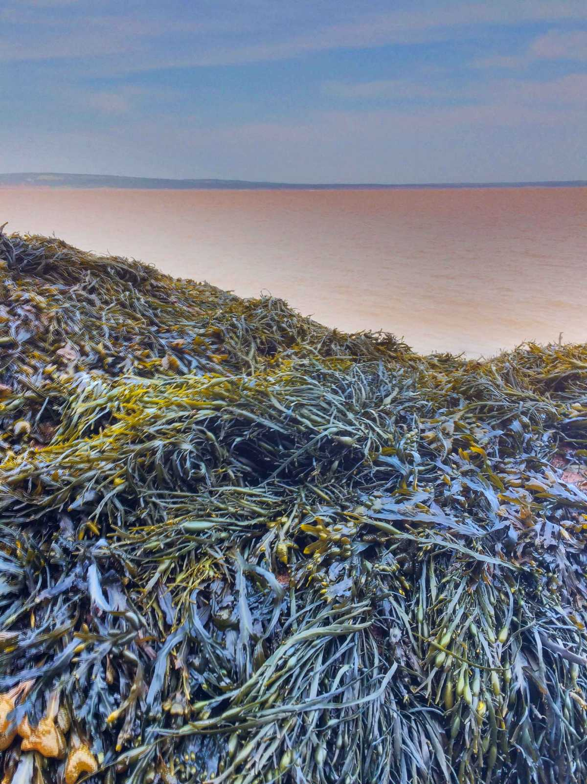 Near Hopewell Rocks, the Bay of Fundy tidal waters stir up the red sandy bottom, while piles of seaweed show yellows and greens under the sun.