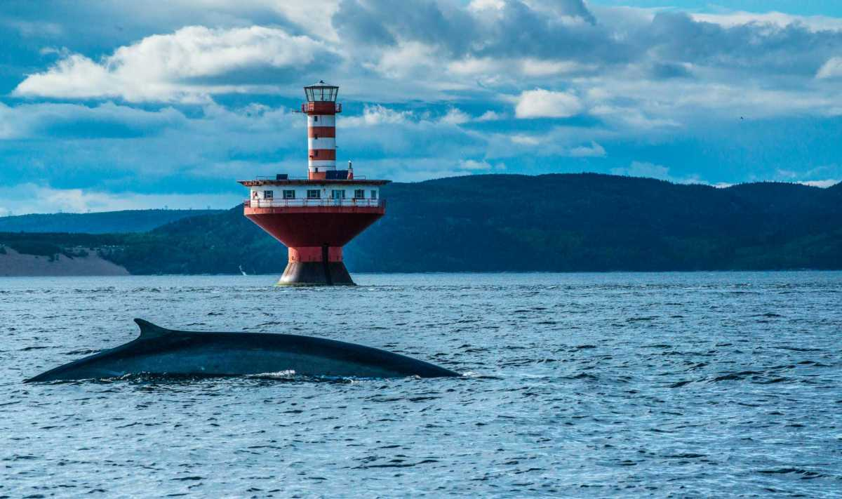 fin whale st lawrence seaway quebec