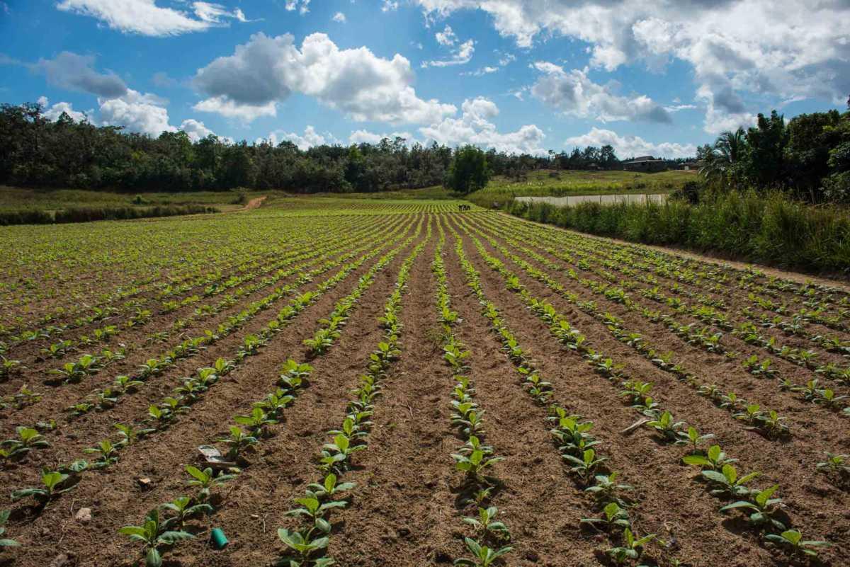tobacco farm pinar del rio