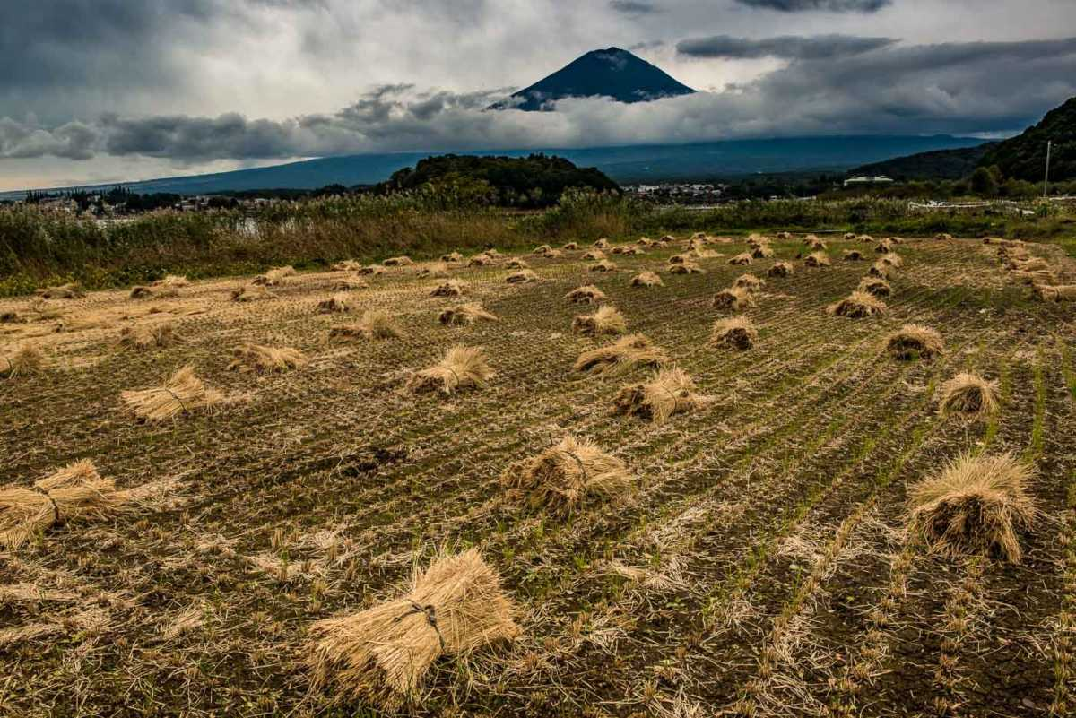 mount fuji rice harvest japan