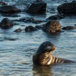 Sea Lion, San Cristóbal Island, Galápagos, Ecuador