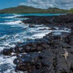 Marine Iguana, Isla Isabela, Galápagos, Ecuador
