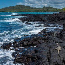 ecuador_isla isabela_marine iguana
