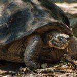 Giant Tortoise, Isla Isabela, Galápagos, Ecuador