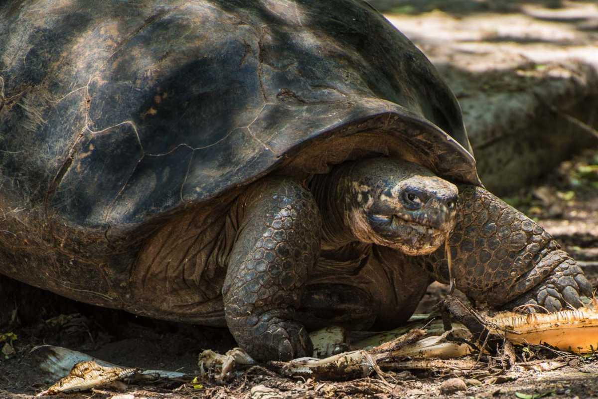 galapagos isla isabela giant tortoise