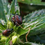 Japanese Beetles, Saint Paul, Minnesota