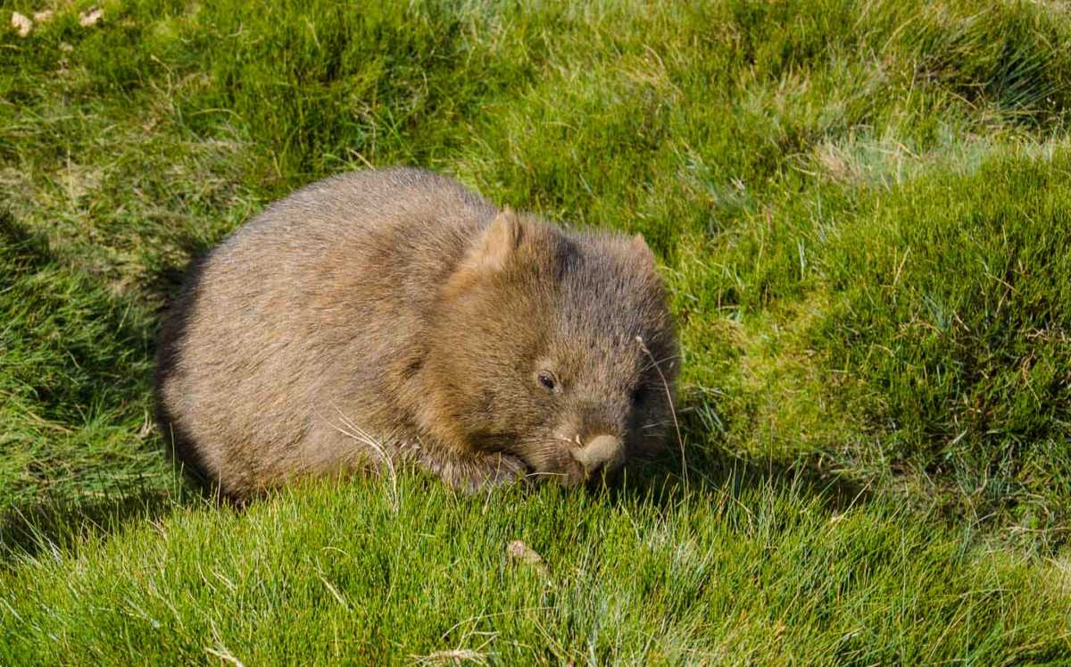 Australia_Tasmania_cradle mountain baby wombat
