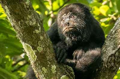 wildlife howler monkey tikal guatemala 2013-05-16