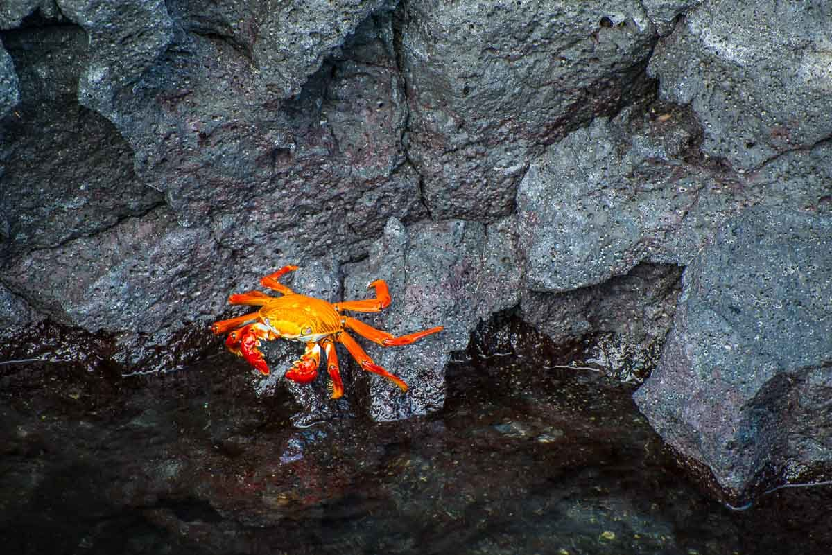Ecuador_galapagos_isabela red crab