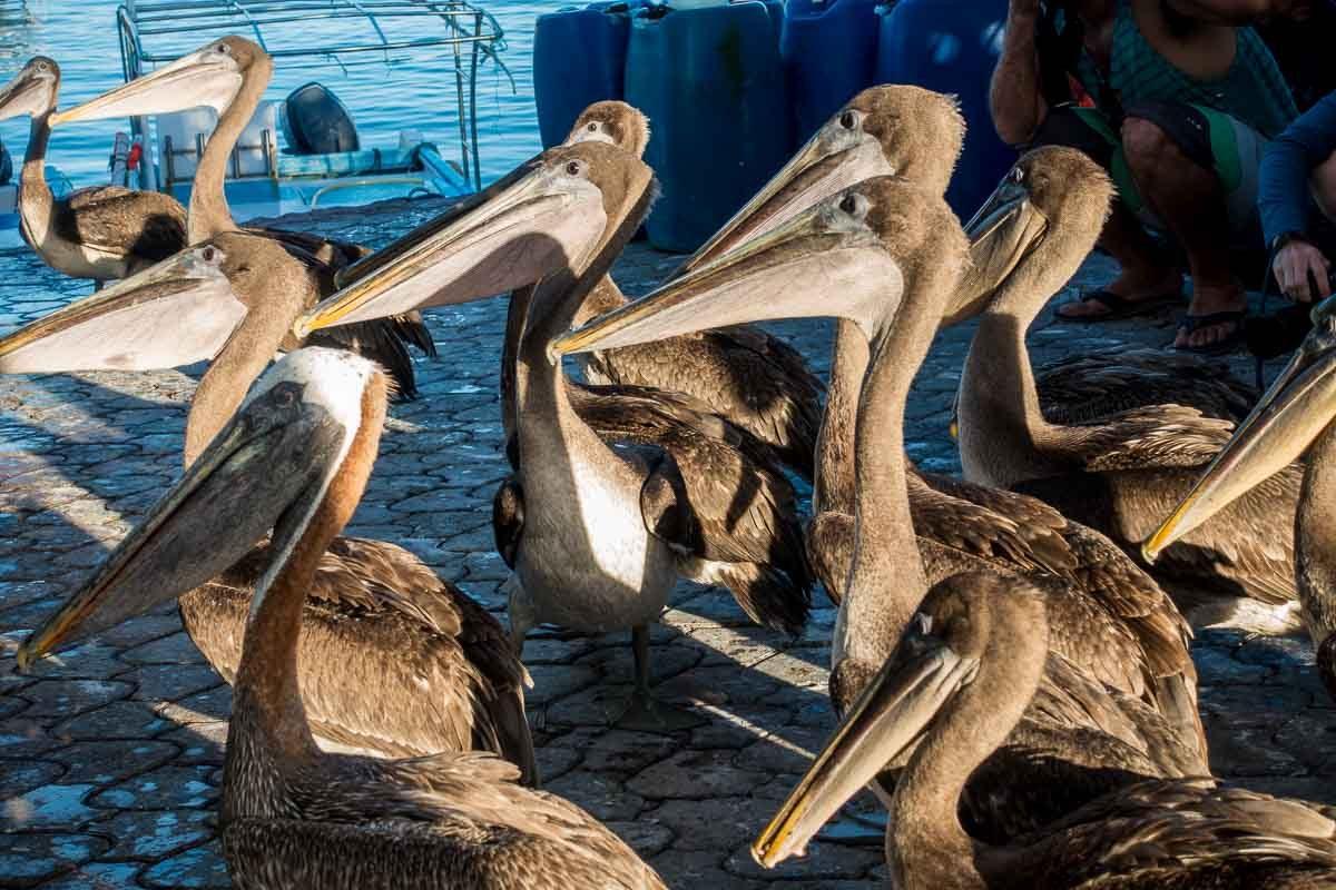 Ecuador_galapagos_santa cruz pelicans fish market