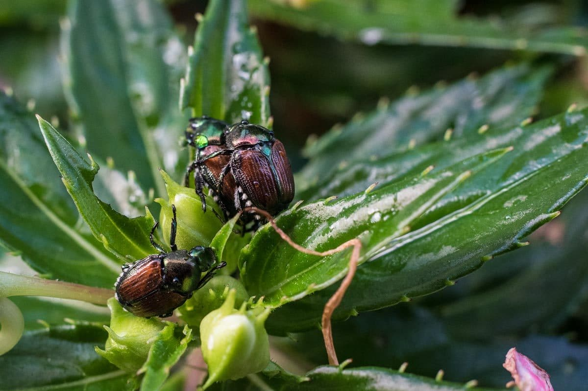USA_Saint Paul macro japanese beetles