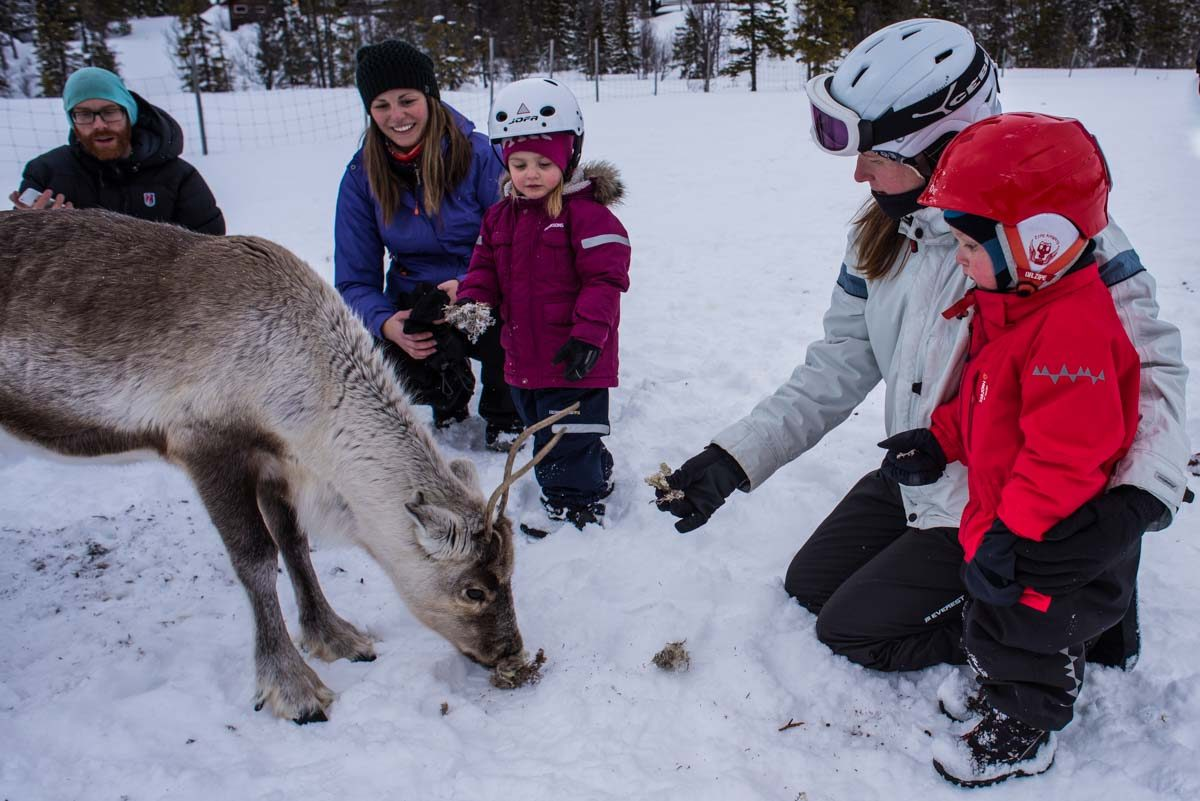 sweden are feeding reindeer 2