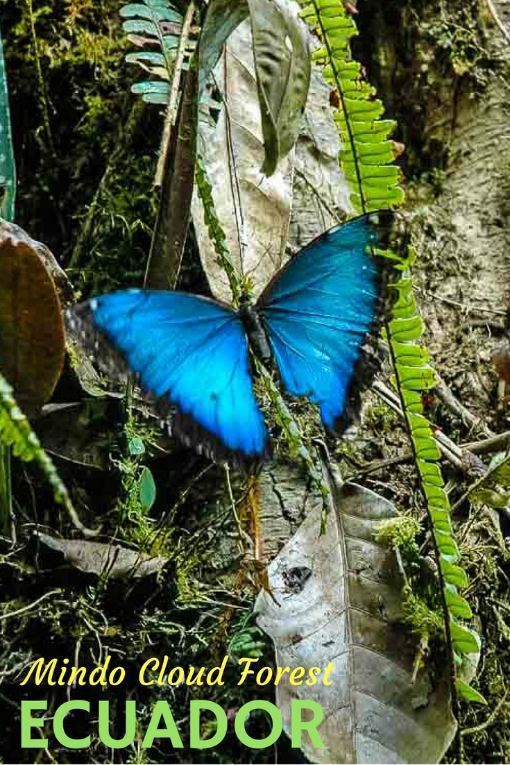 Welcome to the jungle, or the rain forest, or the cloud forest. Whatever you call it, a visit to the Mindo Cloud Forest of Ecuador will be rewarded with bird and butterfly sightings, rich vegetation and wonderful lodging. #Ecuador #TravelPast50 #seniortravel #travelphotography #TBIN #ActiveTravel #nature #TravelTips