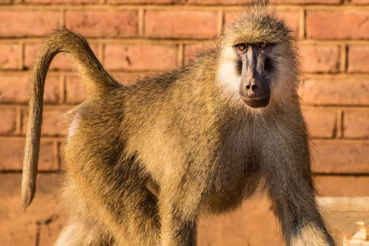 Malawi Vwaza adult baboon village close