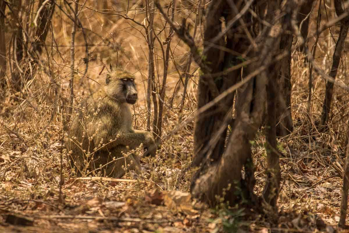 Malawi Vwaza baboon in bush 1