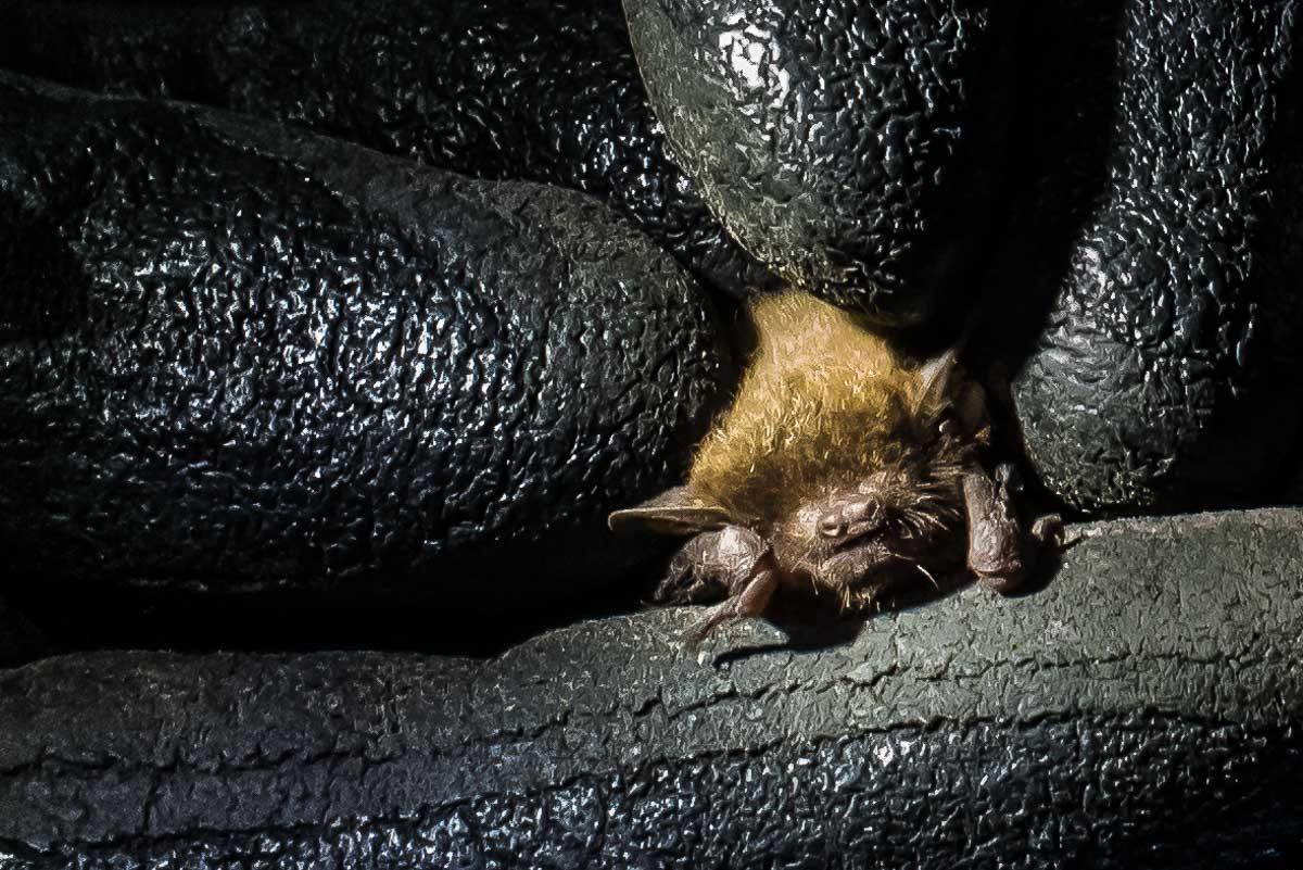 Malawi Vwaza bat