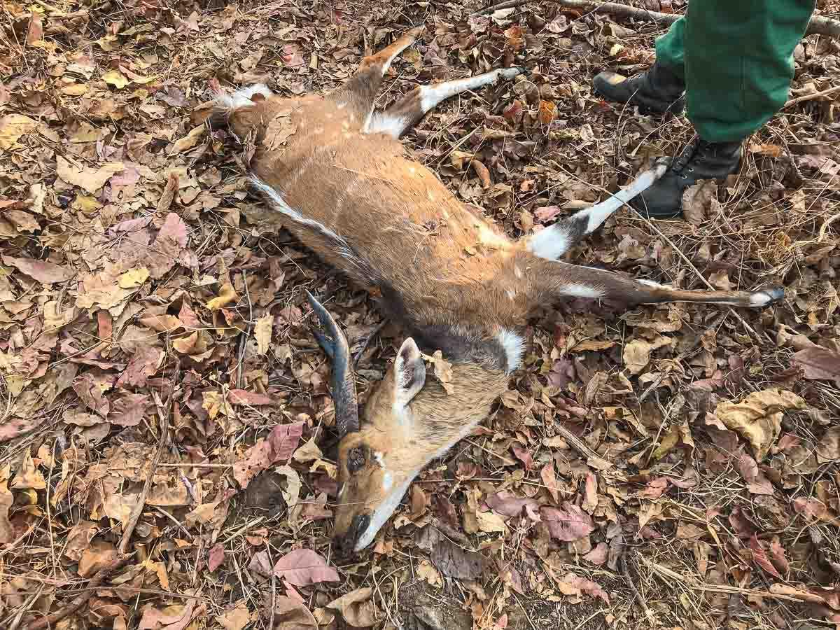 Malawi Vwaza dead bush buck