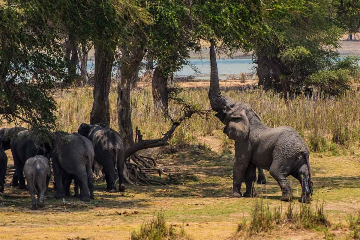 Malawi Vwaza elephant brutus at treee