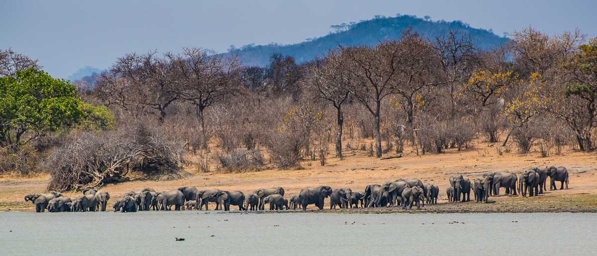 Malawi Vwaza elephant herd at lake
