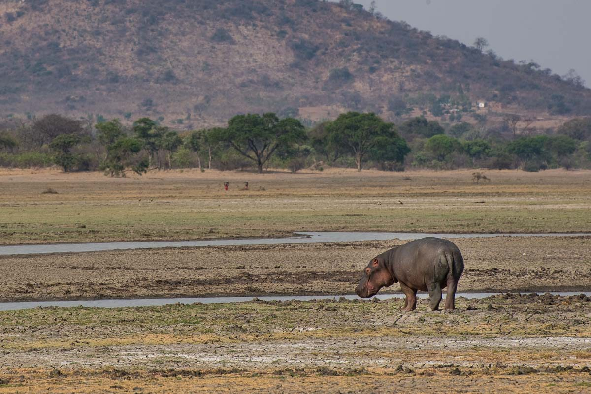 Malawi Vwaza hippo on land