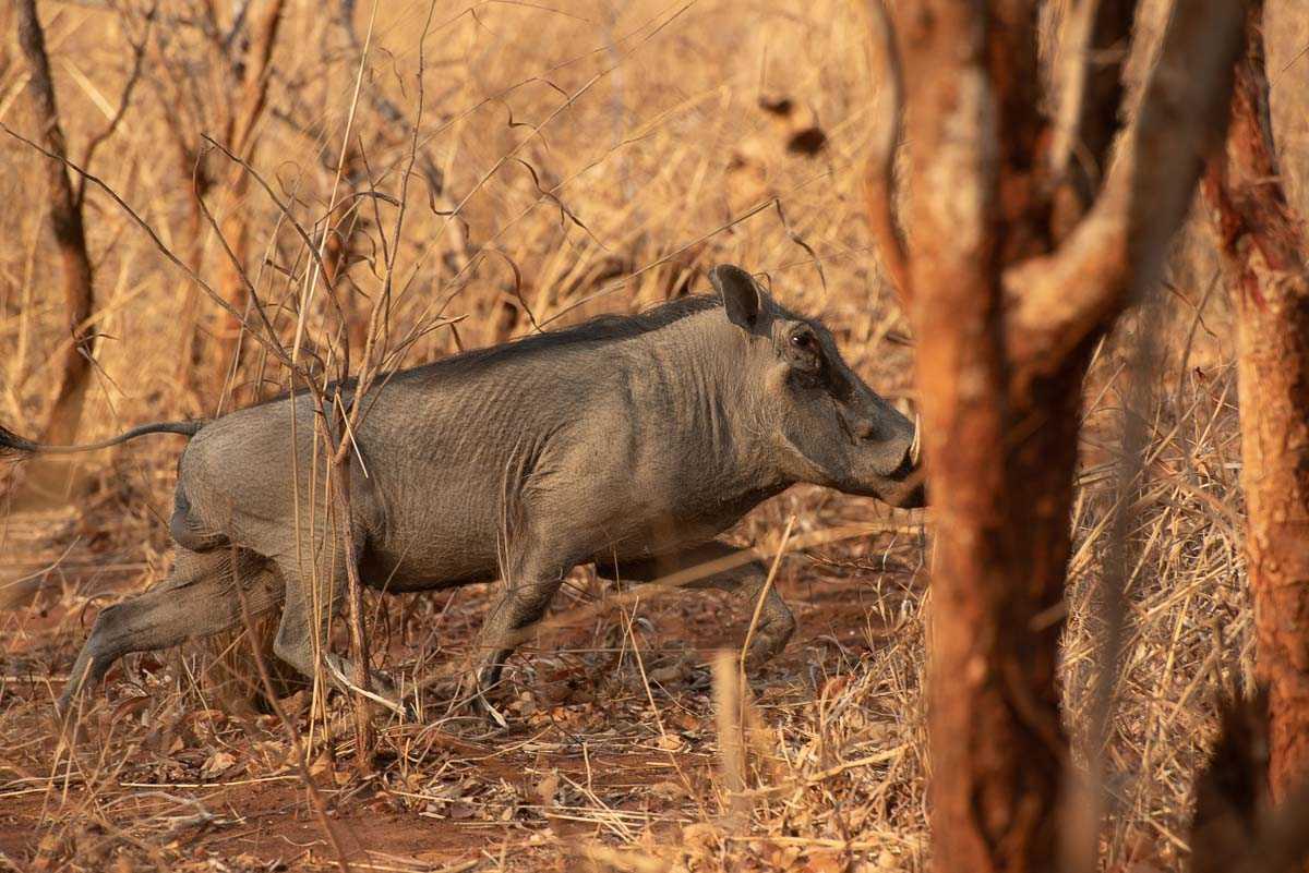 Malawi Vwaza warthog