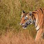 An India Tiger Safari: What to Expect