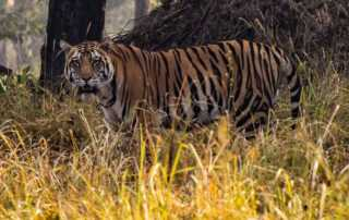tiger kahna national park india