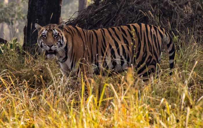 tiger kahna national park india