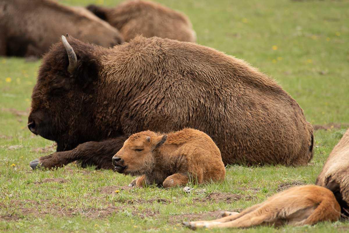 yellowstone baby bison