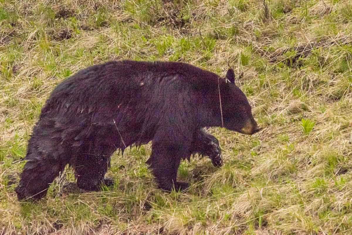 black bear yellowstone