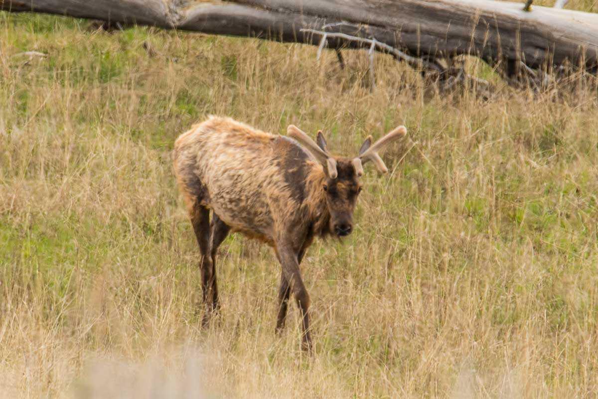 yellowstone young elk