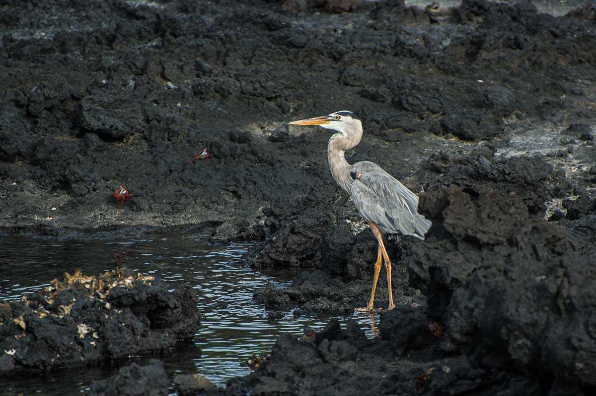 floreana galapagos heron