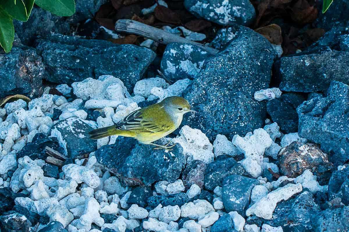 birds floreana