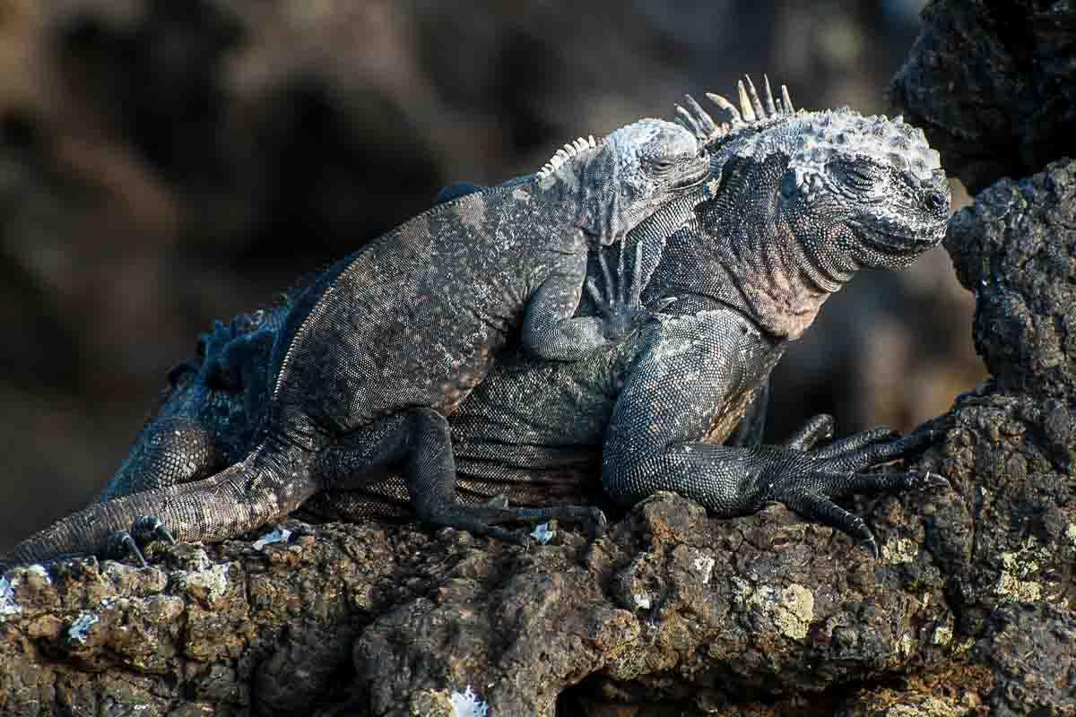 galapagos floreana iguanas