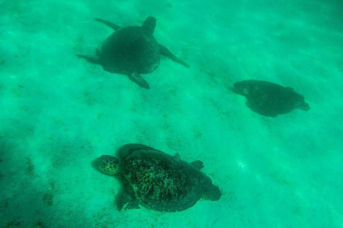 galapagos snorkeling sea turtle