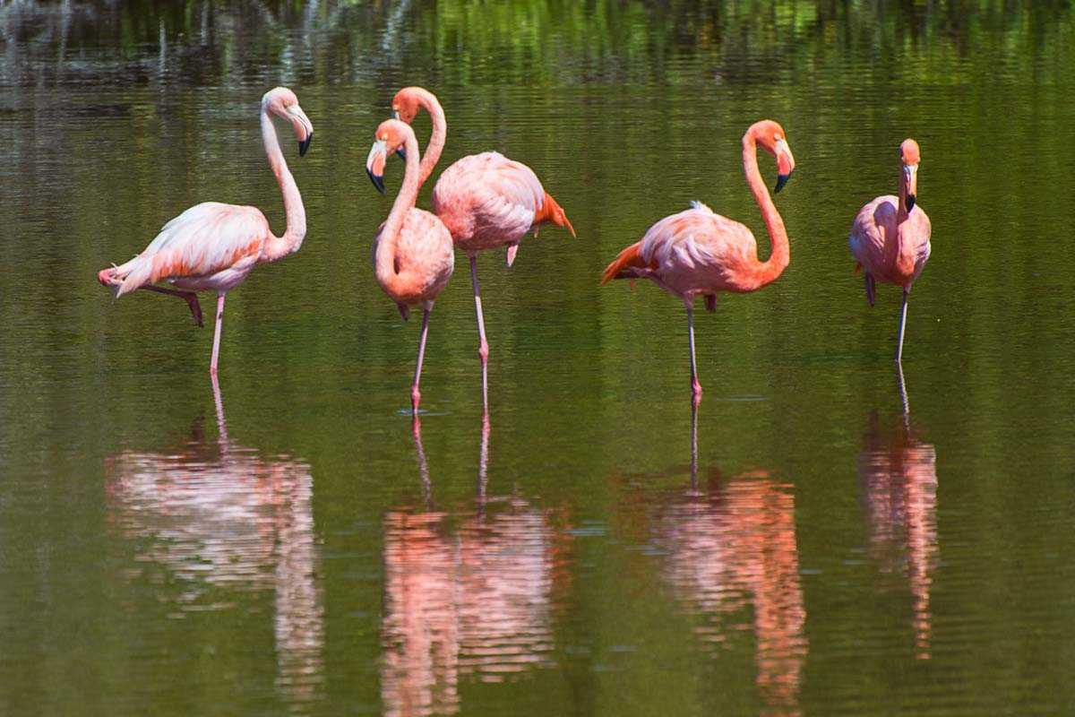 flamingos galapagos isla isabela