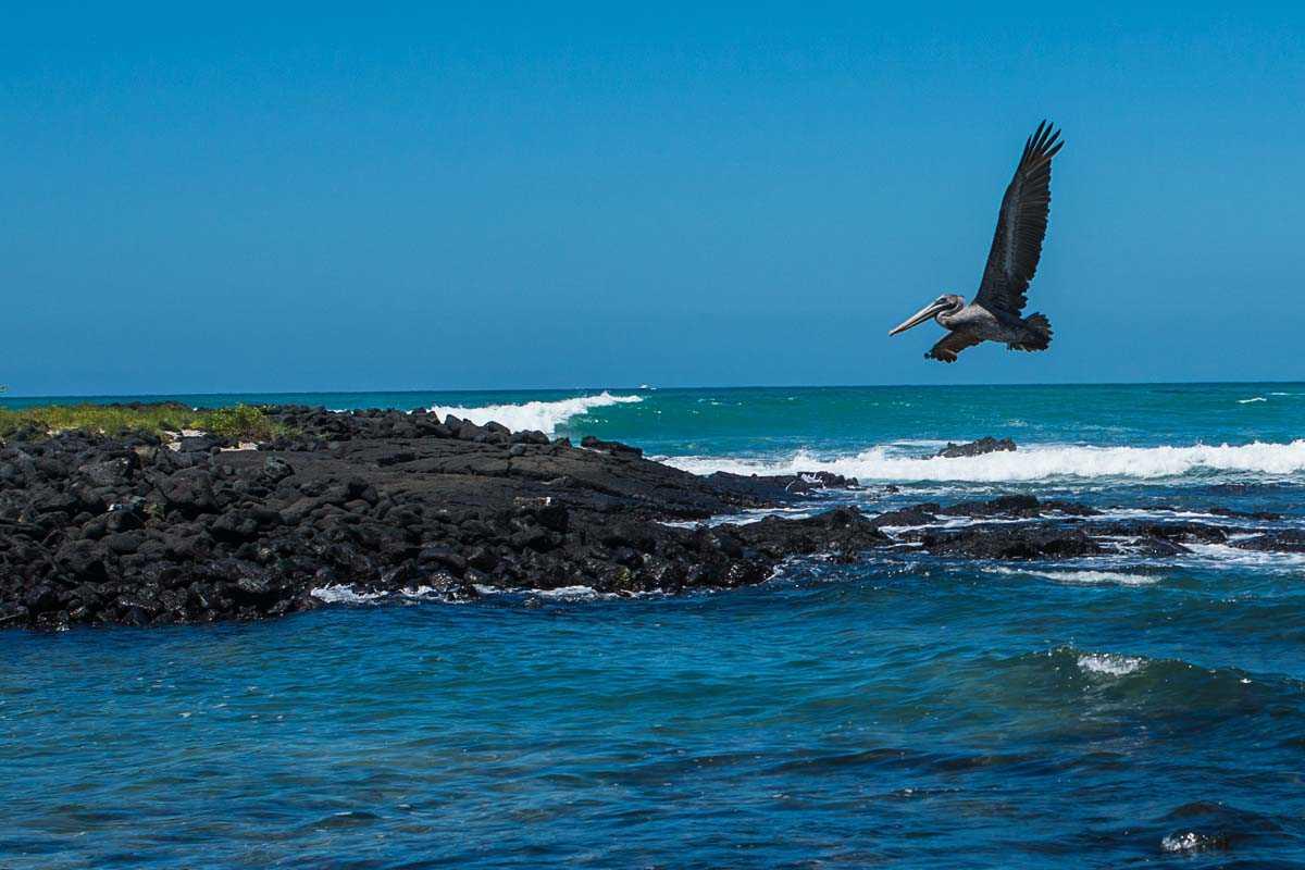 ecuador galapagos isabela pelican flying