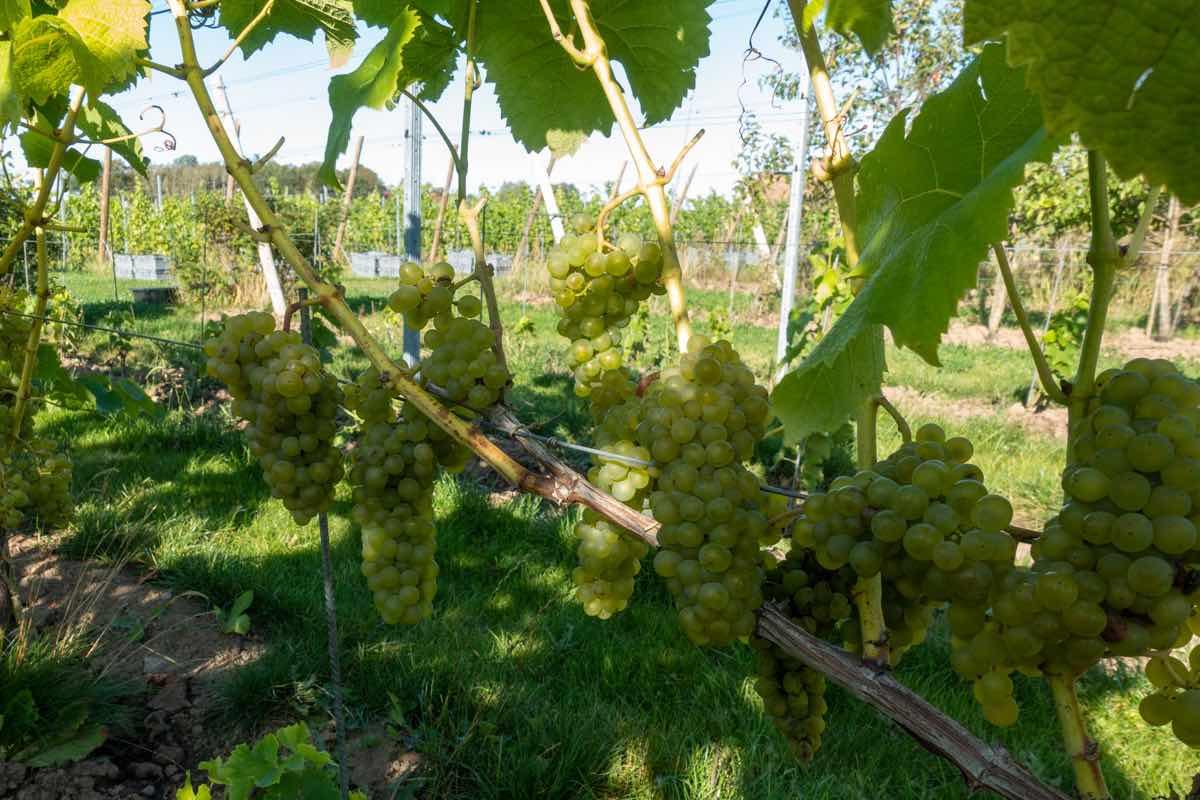 Sweden vineyard place for ecotourism