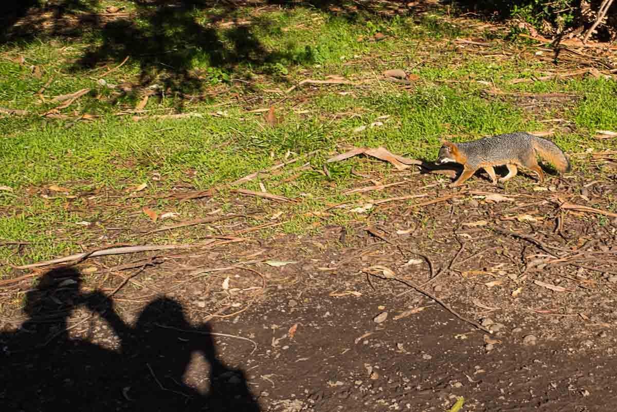 channel islands national park island fox
