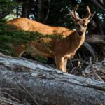 Deer and wildlife in National Parks
